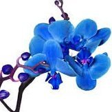Ladro di Orchidee